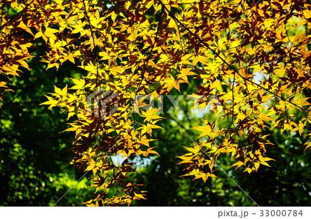 新緑の葉っぱ 33000784