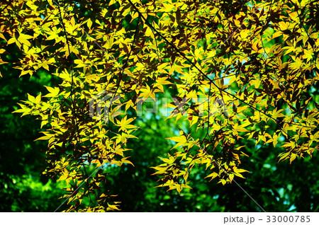 新緑の葉っぱ 33000785