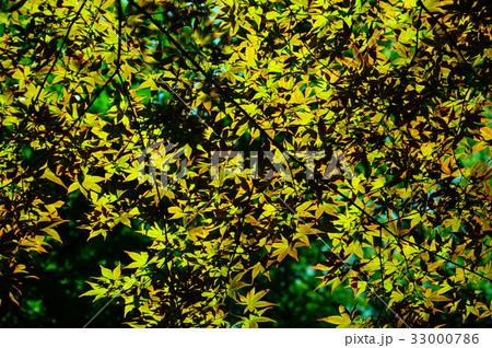 新緑の葉っぱ 33000786
