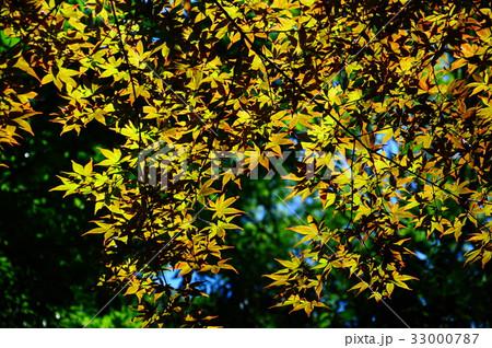 新緑の葉っぱ 33000787