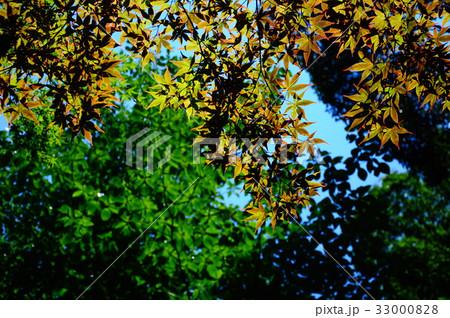 新緑の葉っぱ 33000828