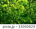 新緑の葉っぱ 33000829