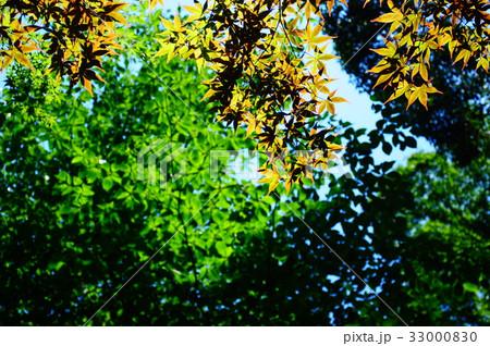 新緑の葉っぱ 33000830