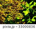新緑の葉っぱ 33000836