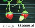 イチゴ狩り 33000916
