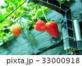 イチゴ狩り 33000918