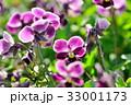 パンジー 花 開花の写真 33001173