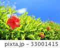 ハイビスカス 青空 花の写真 33001415