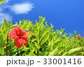 ハイビスカス 青空 花の写真 33001416