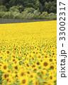 ヒマワリ ひまわり 向日葵の写真 33002317