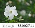 植物 ムクゲ 花の写真 33002711