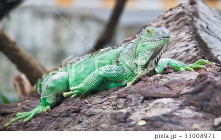 green iguana on wood 33008971