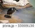 ゴイサギ 鳥 雄の写真 33009130