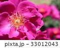ローズ 薔薇 バラ科の写真 33012043