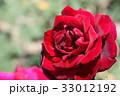 バラ ローズ バラ科の写真 33012192
