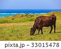 牛 石垣島 海 33015478