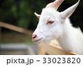ヤギ (動物 生物 哺乳類 山羊 家畜 牧場 ペット ウシ科 ヤギ属 動物園 かわいい) 33023820