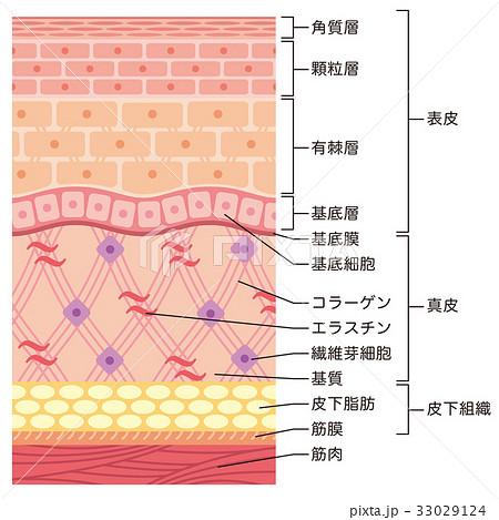 皮膚の構造 肌図 断面図 33029124