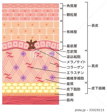 皮膚の構造 肌図 断面図 33029215