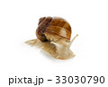 かたつむり カタツムリ 庭の写真 33030790