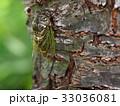 クマゼミ 夏 昆虫の写真 33036081
