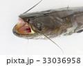 ナマズ(鯰) 肉食性の淡水魚 頭部開口俯瞰 マナマズ、ニホンナマズ 日本に棲息する3種のうちの1種 33036958