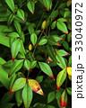 植物,變色葉,秋天,植物、葉の色、秋、Plants, color leaves, autumn, 33040972