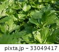 セロリ 葉 野菜の写真 33049417