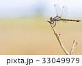 とんぼ トンボ 昆虫の写真 33049979
