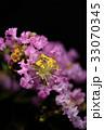 花 サルスベリ 植物の写真 33070345