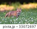 キタキツネ 子狐 狐の写真 33072697