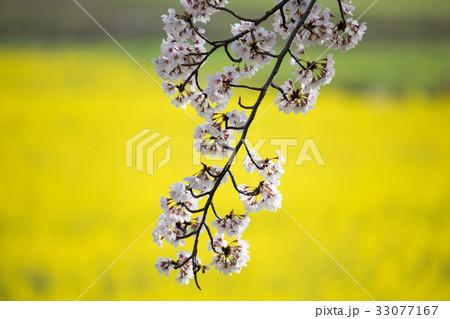 春爛漫の藤原宮跡(奈良県橿原市) 33077167