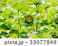 咲きかけのひまわり 33077849