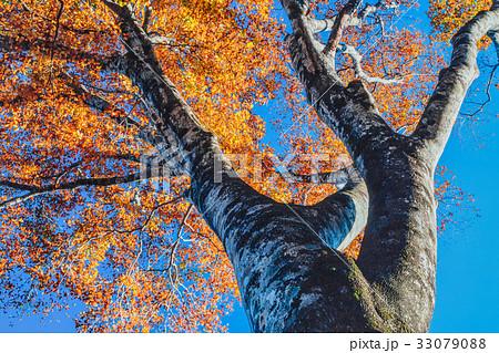 紅葉するブナの木 33079088