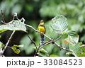 野鳥 動物 カラフルの写真 33084523