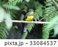 野鳥 動物 カラフルの写真 33084537