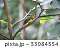 野鳥 動物 カラフルの写真 33084554