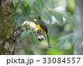 野鳥 動物 カラフルの写真 33084557