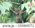 動物 げっ歯類 齧歯目の写真 33084571