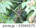 動物 げっ歯類 齧歯目の写真 33084575
