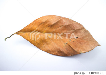 Dry jackfruit leaf isolate on white backgroundの写真素材 [33090120] - PIXTA