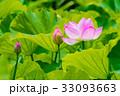 蓮の花 横浜 33093663