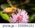 ハチ ミツバチ 蜂の写真 33094101
