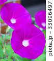 朝顔 花 咲くの写真 33096497