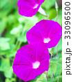朝顔 花 咲くの写真 33096500