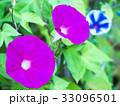 朝顔 花 咲くの写真 33096501