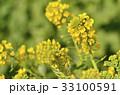菜の花 花 春の写真 33100591