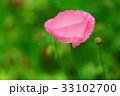 花 ピンク ポピーの写真 33102700