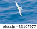 海 海鳥 飛ぶの写真 33107977