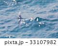 海 海鳥 飛ぶの写真 33107982